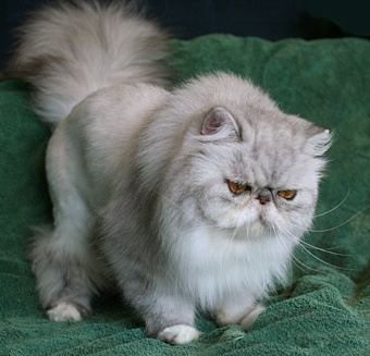 Diehl Cattery Persians and Exotic Shorthairs Homepage