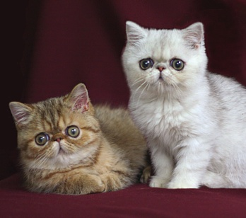 Cat Breed Exotic Pictures